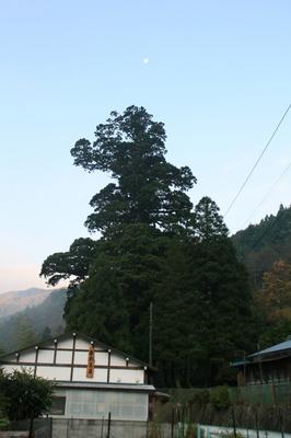 houkisugi_tanzawa2.jpg